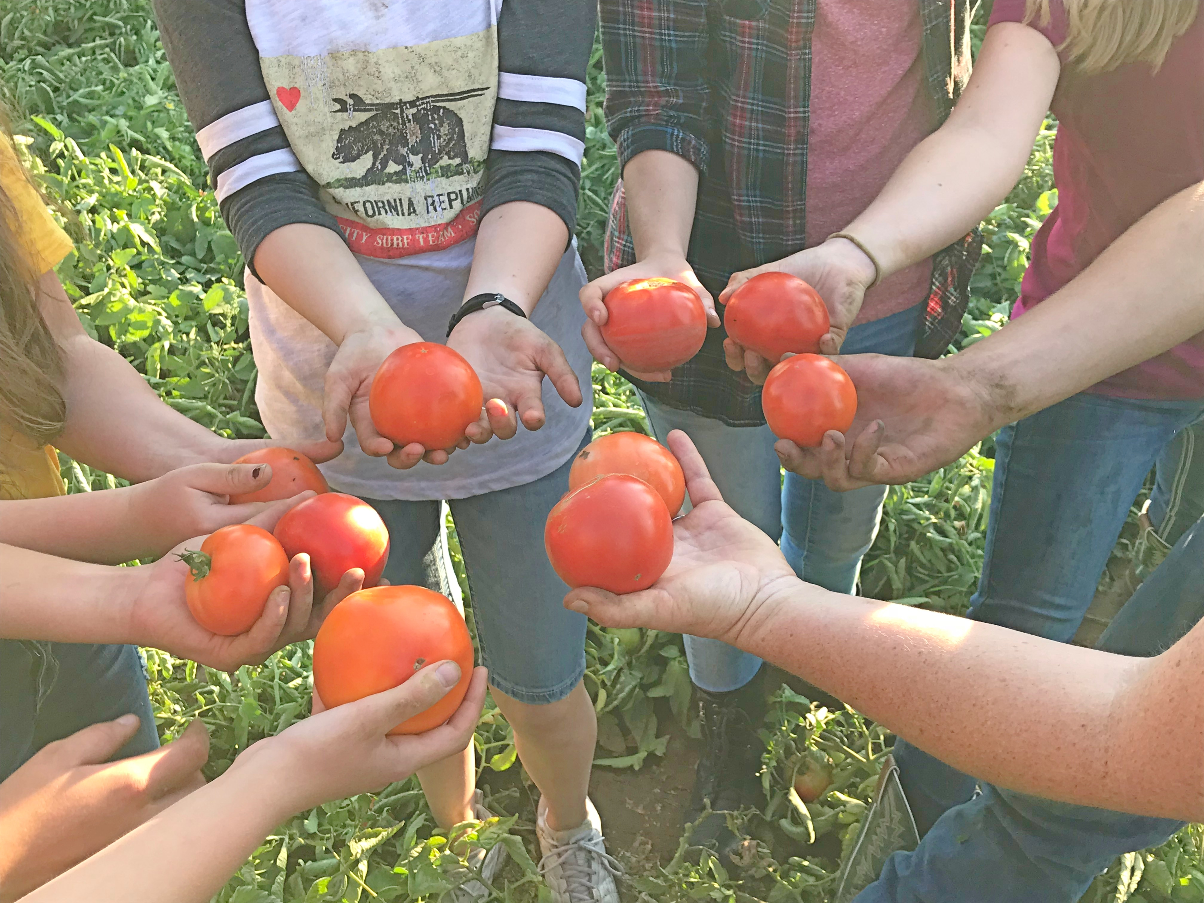 Youth in the Howell Ward gather tomatoes as part of a harvest and canning project in Plain City, Utah, on Sept. 5, 2018.