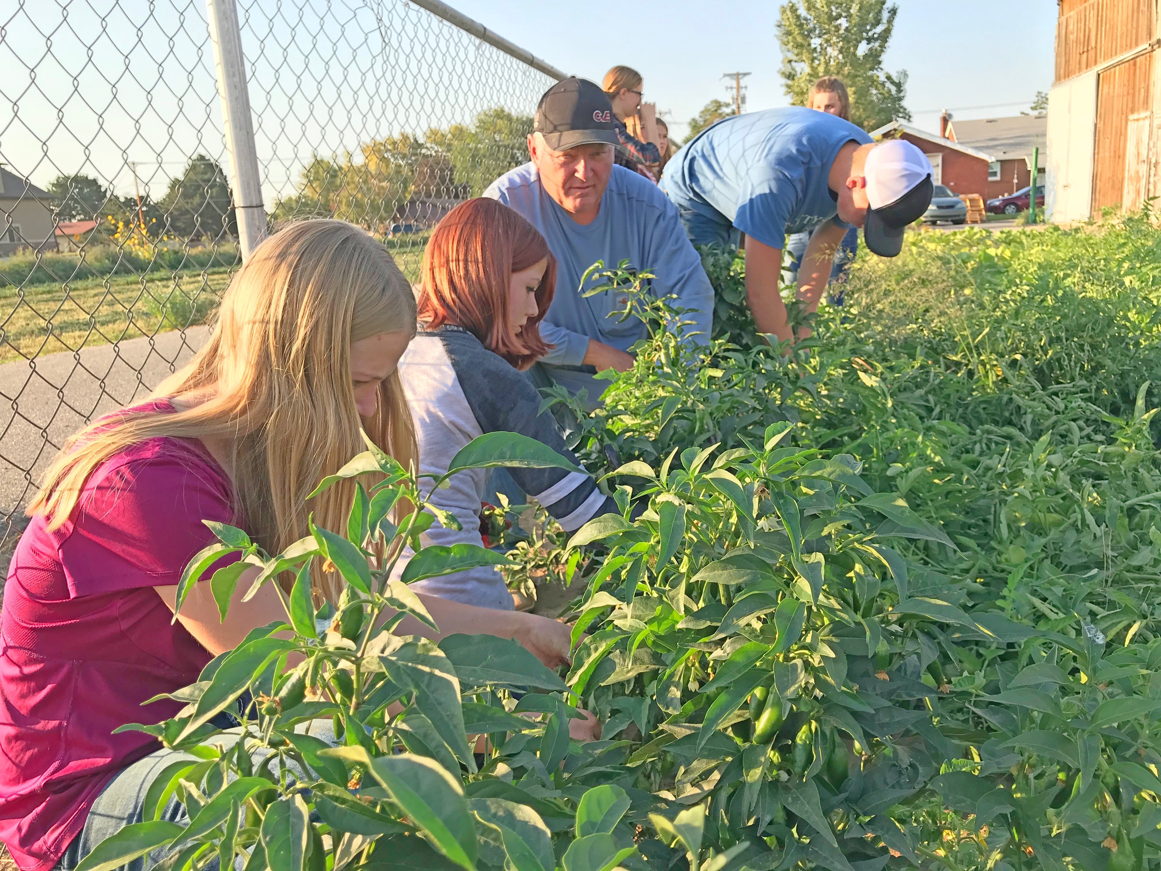 Left, Emma Packer, her sister Annie Packer and Howell Bishop Rodney J. Ward pick tomatoes as part of a harvest and canning project in Plain City, Utah, on Sept. 5, 2018.