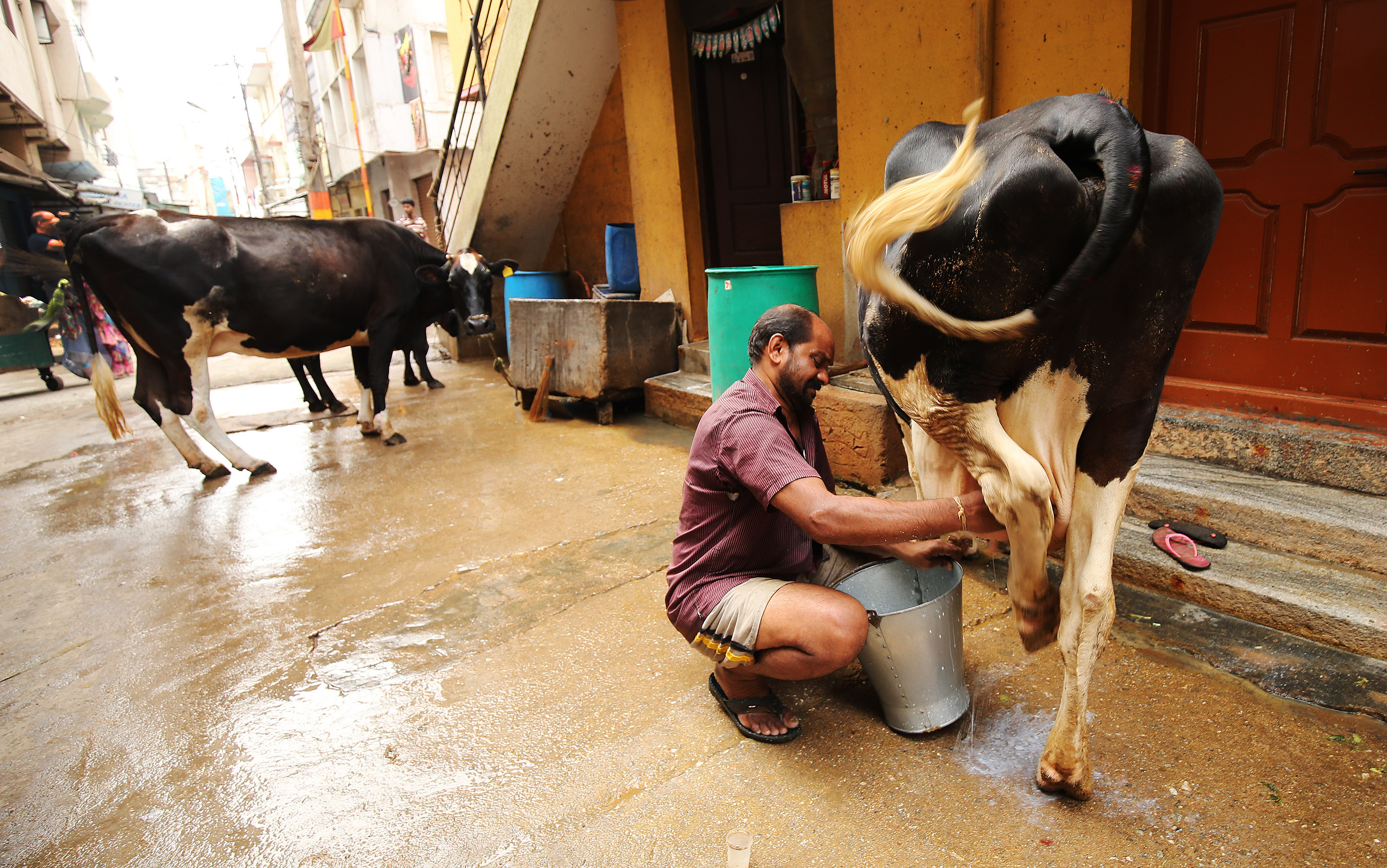 A cow is milked in the streets in Bengaluru, India, on Thursday, April 19, 2018.