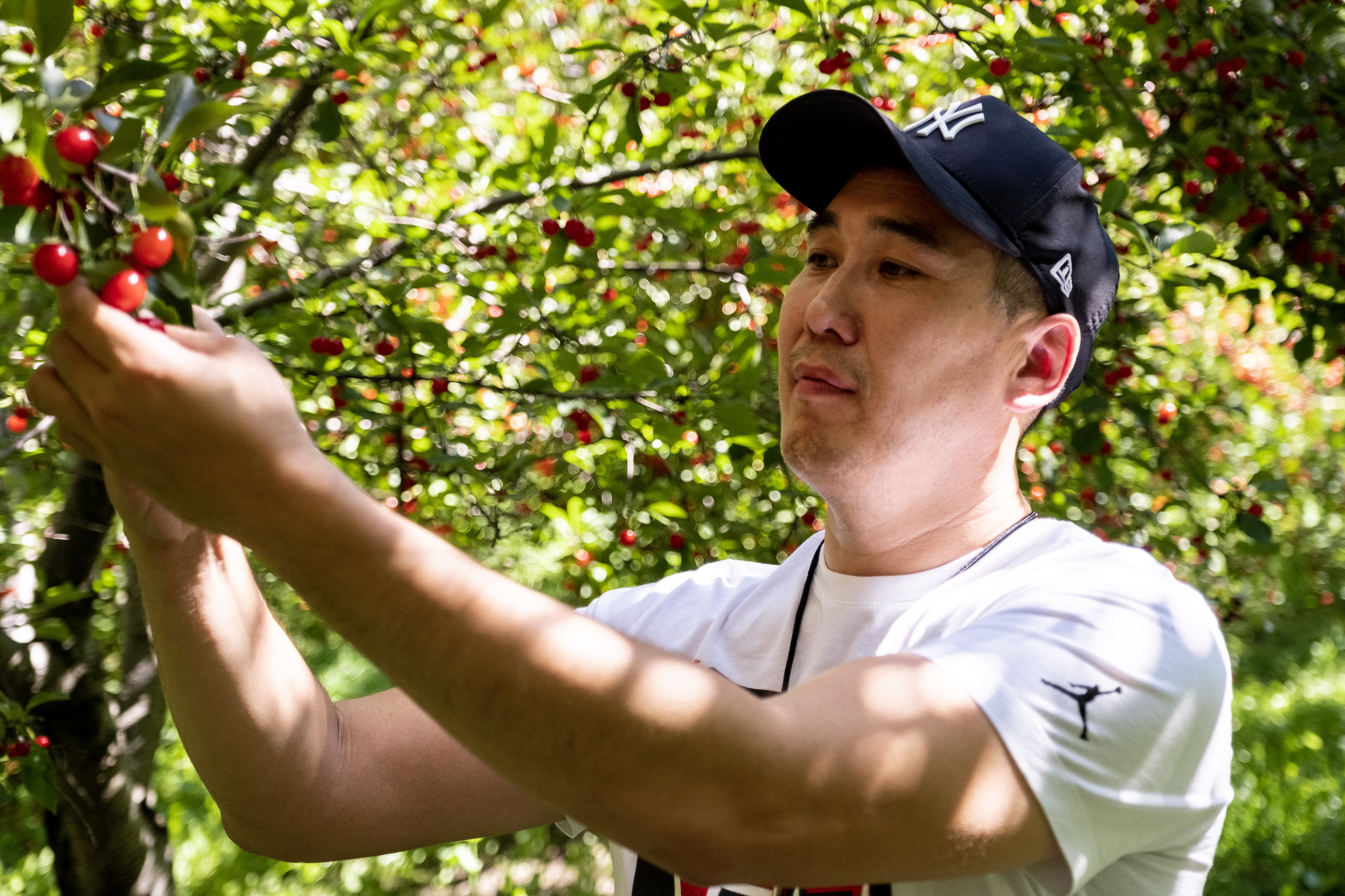 Enkhbaatar Byambaa, a member of the Mongolian delegation visiting BYU as part of an ongoing partnership to improve food preservation systems in Mongolia, picks cherries from a fruit farm in Utah during the delegation's visit in August 2019.