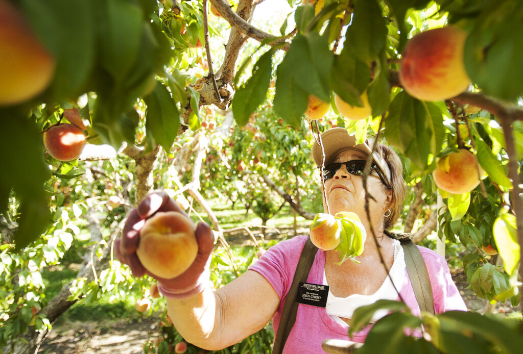 Sister Chris Williams, a Church service missionary, picks peaches at the North Ogden Peach Orchard in Ogden, Tuesday, Aug. 16, 2016.