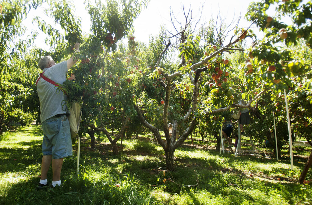 Volunteers pick peaches at the North Ogden Peach Orchard in Ogden, Tuesday, Aug. 16, 2016.
