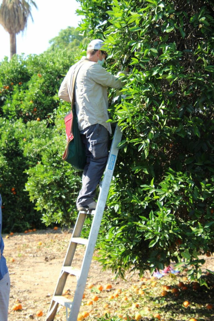 A Latter-Saint volunteer reaches deep into a tree to pick oranges during a May 9, 2020, humanitarian project at a city-owned orange grove in Redlands, California.
