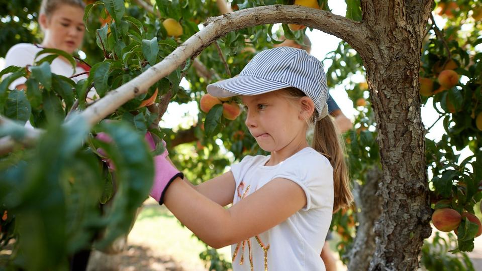 A girl picks peaches in a Church-owned orchard in Pleasant View, Utah, on Tuesday, August 25, 2020.