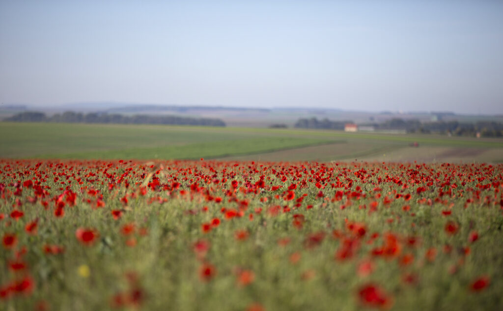 In this Wednesday, Oct 14, 2014 file photo, poppies are in full bloom in a field near Sommepy-Tahure, France. After the United States declared war on Germany in April 1917, its standing army of 127,500 became an armed force of 2 million within 1 ½ years. On Nov 11, 1918, allies like Britain and France were exhausted, Germany was as good as defeated and U.S. Gen. John J. Pershing had another 2 million troops ready to come over.
