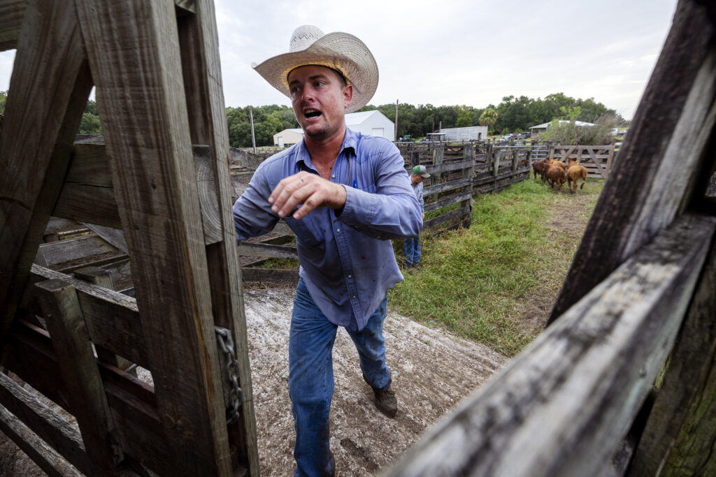 Billy Bevers closes the gate on a scale at Deseret Ranches in St. Cloud, Florida, on Tuesday, Aug. 24, 2021.