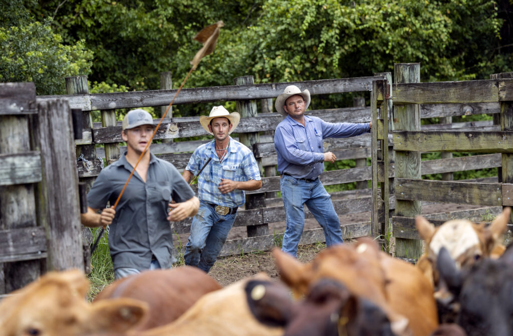 Will Lorring, Ty Edwards and Wade Beck push cattle into a scale to be weighed prior to transport at Deseret Ranches in St. Cloud, Florida, on Tuesday, Aug. 24, 2021.