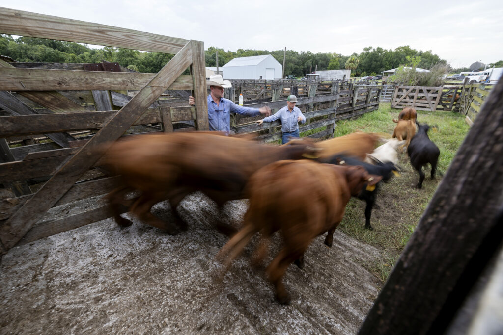 Billy Bevers and Cordell Young count cattle as they come off the scale prior to being loaded onto a cattle truck at Deseret Ranches in St. Cloud, Florida, on Tuesday, Aug. 24, 2021.