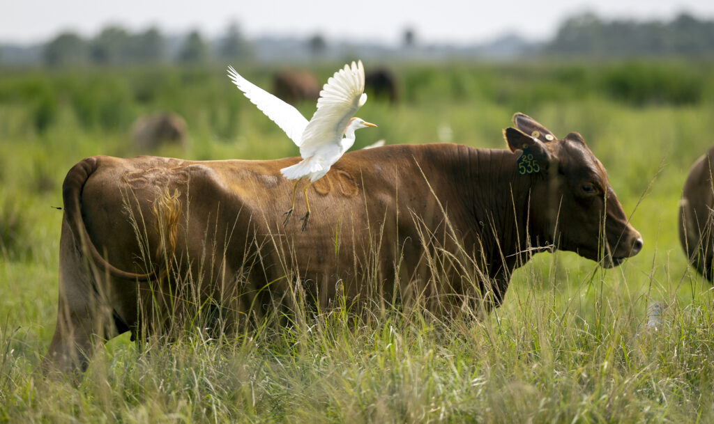 A cattle egret flies off as cattle graze in a pasture at Deseret RaRanchesnch in St. Cloud, Florida, on Monday, Aug. 23, 2021.