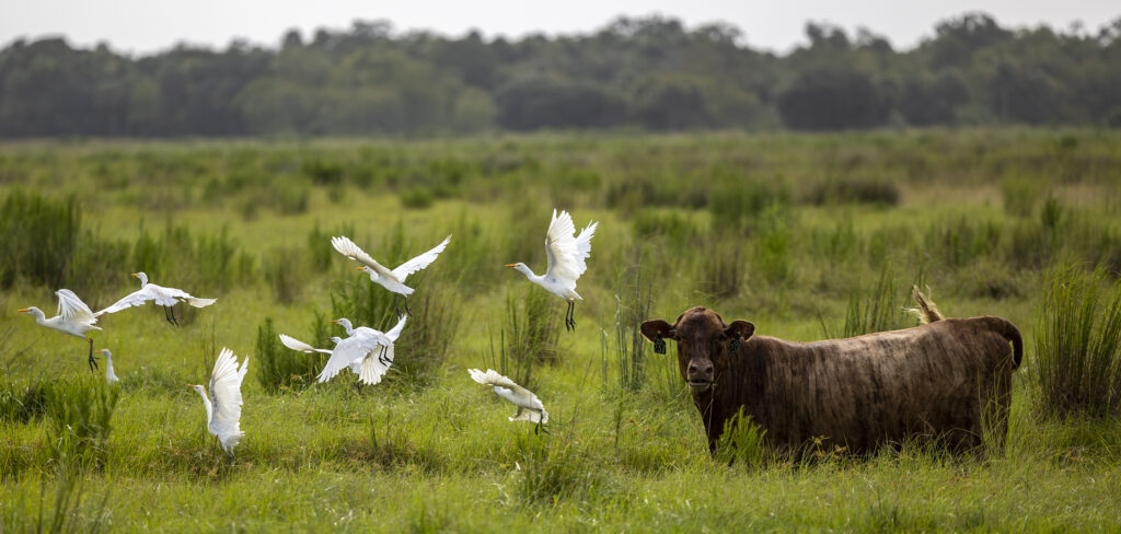 Cattle egrets fly into the air as cattle graze in a pasture at Deseret Ranches in St. Cloud, Florida, on Monday, Aug. 23, 2021.