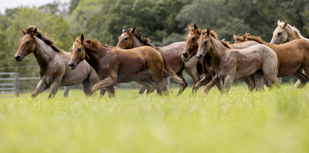 A herd of horses move around a pasture at Deseret Ranches in St. Cloud, Florida, on Monday, Aug. 23, 2021.